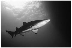 19-GREY-NURSE-SHARKS-NELSON-BAY-AUSTRALIE